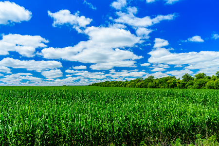 Field of young green corn on summer Banco de Imagens