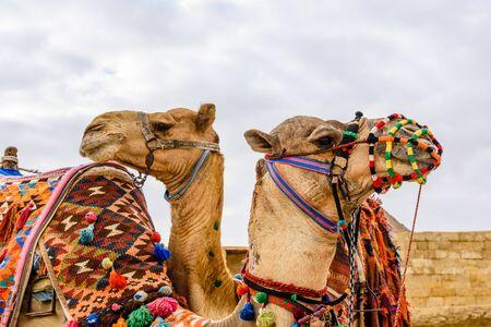 Camels near great pyramids in Giza, Egypt Standard-Bild