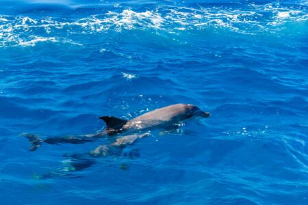 Dolphins in Red sea not far from Hurghada city, Egypt Banco de Imagens