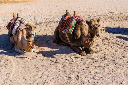 Camels in arabian desert not far from Hurghada city, Egypt