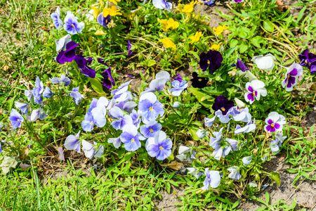 Different viola flowers on flowerbed in garden