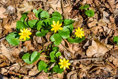 Yellow buttercups in forest on early spring