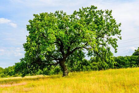 Lonely oak tree at meadow on summer Reklamní fotografie