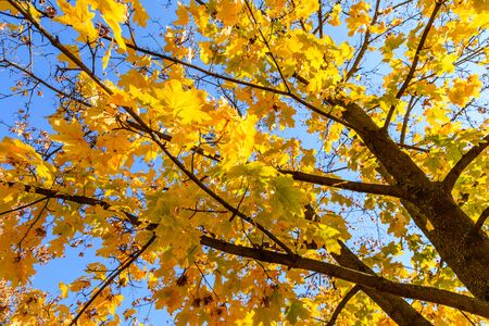 Yellow maple leaves against blue sky on autumn 写真素材