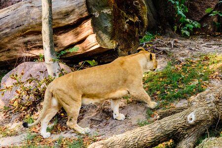 Big lioness (Panthera leo) walking among green vegetation