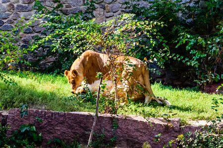 Two lionesses (Panthera leo) playing among green vegetation