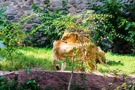 Big lionesses (Panthera leo) resting among green vegetation