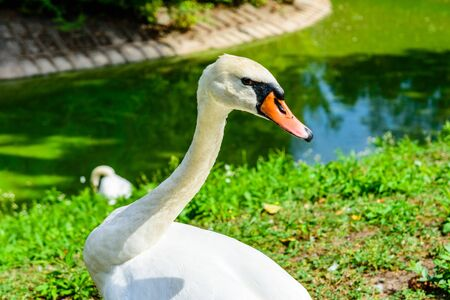 White swan on green bank of lake 스톡 콘텐츠 - 129802557