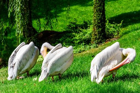 White pelicans (pelecanus onocrotalus) on green grass