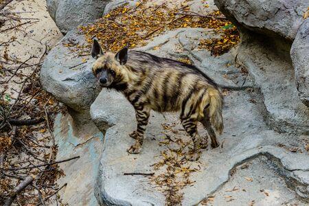 Striped hyena (Hyaena hyaena) on a stone Banco de Imagens
