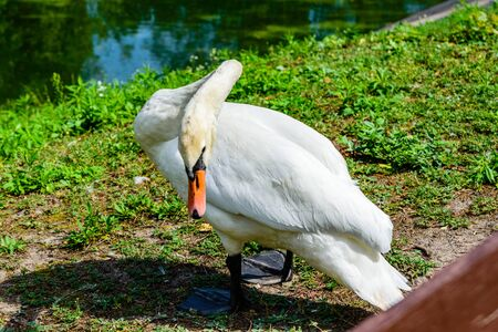 White swan on green bank of lake Stok Fotoğraf