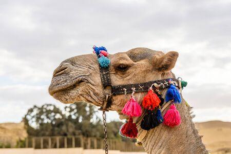 Camel near great pyramids in Giza, Egypt Banco de Imagens