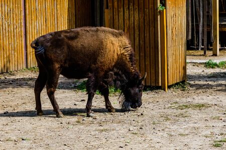 Auroch (Bison bonasus) in corral at the farm