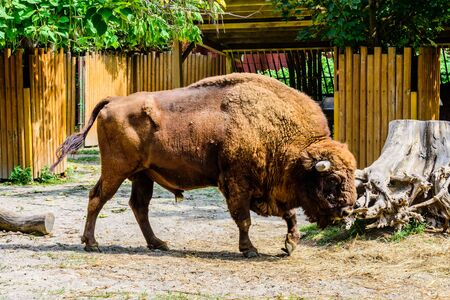 American bison in corral at the farm Reklamní fotografie