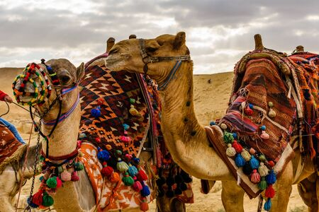 Camels near great pyramids in Giza, Egypt