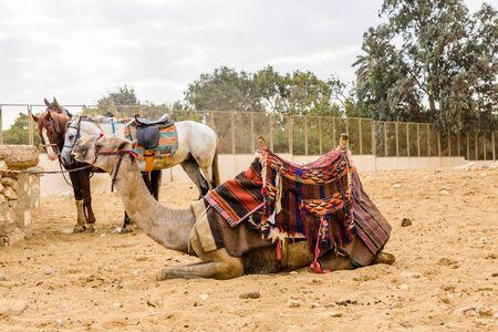 Camel near great pyramids in Giza, Egypt Reklamní fotografie