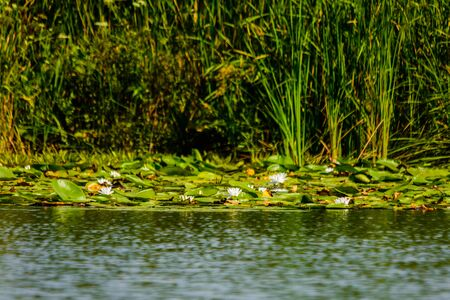 White water lilies on a water surface
