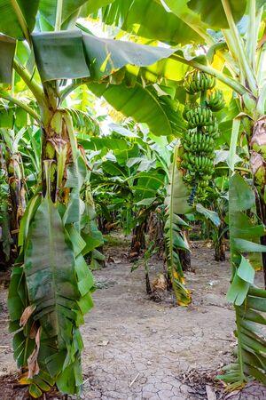Plantation of green banana trees on summer