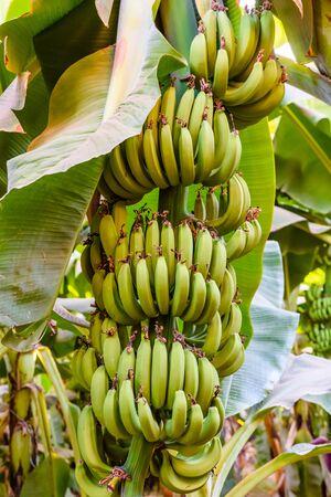 Bunch of unripe green bananas on tree Stockfoto