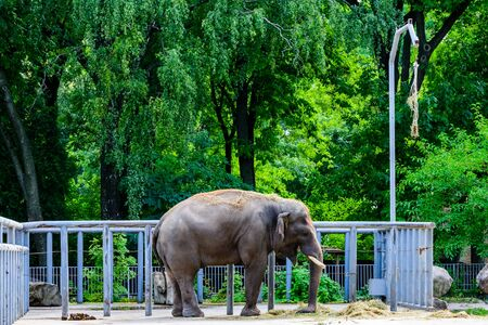 Asian or indian elephant in a corral