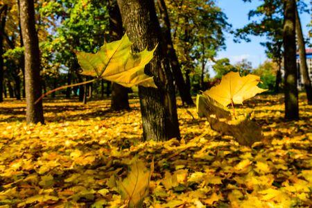 Maple leaves falls in park. Autumn concept