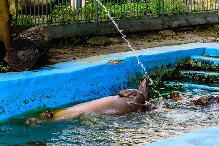 Hippopotamus (Hippopotamus amphibius). Young female of hippo in water 版權商用圖片