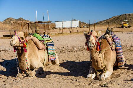 Chameaux dans le désert d'Arabie non loin de la ville d'Hurghada, Egypte