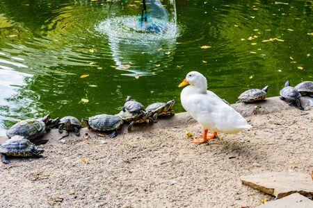 Turtles and white duck on bank of small pond 写真素材