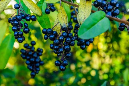 Berries on bush of common privet plant (Ligustrum vulgare) Stockfoto