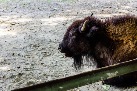 American bison in corral at the farm. Closeup of bison muzzle