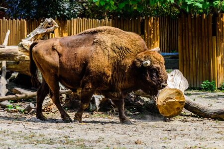 American bison in corral at the farm 스톡 콘텐츠