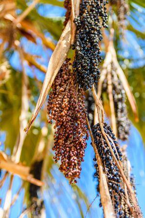 Ripe fruits of the trachycarpus palm tree