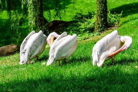 White pelicans (pelecanus onocrotalus) on green grass