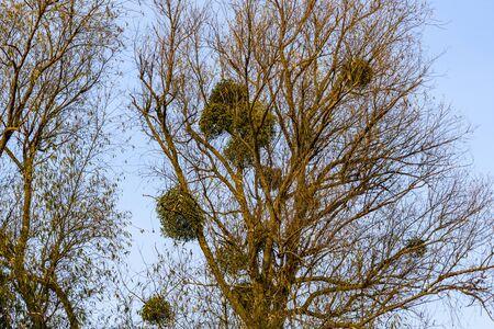 Mistletoe (viscum album) growing on branches of tree