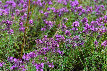 Flowers of Thyme (Thymus) on the meadow