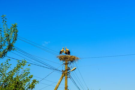 Family of storks (ciconia ciconia) in nest on electric pole