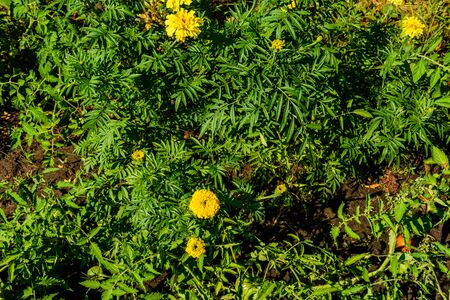 Yellow marigold flowers (african marigolds, tagetes erecta) on flowerbed