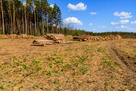 Stacked tree logs of pine wood in forest. Forest felling. Timber storage Stock Photo