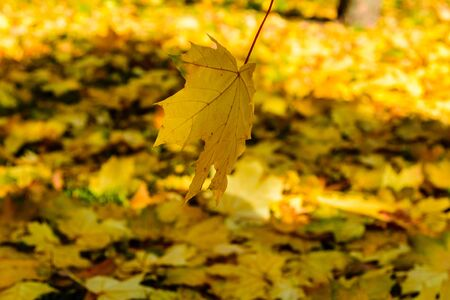 Maple leaf falls in park. Autumn concept