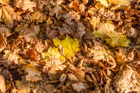 Background of the yellow fallen maple leaves