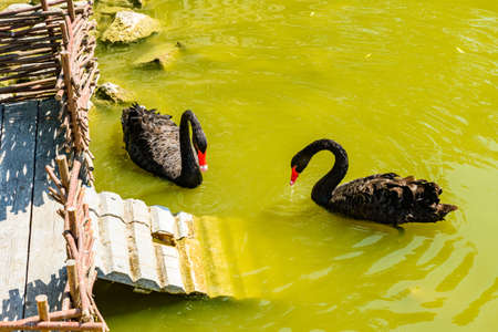Black swans swimming in a small pond