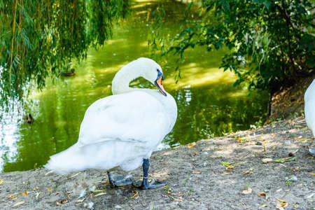White swan on green bank of lake Archivio Fotografico