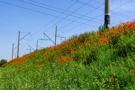 Wild red poppy plants blossoming at summer