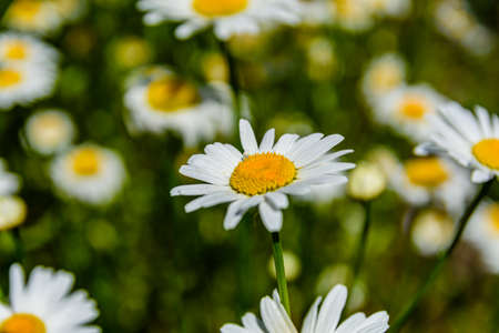 Chamomile flowers blooming in garden at spring