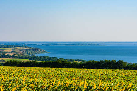 Field of blooming sunflowers at summer. River Dnieper on background. Rural landscape