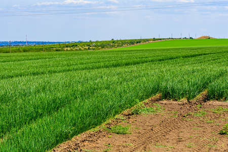 Agricultural field with young green onion on summer