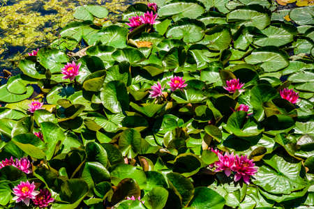 Pink water lilies on a water surface
