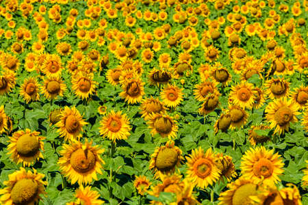 Background of the blooming sunflowers. Natural pattern