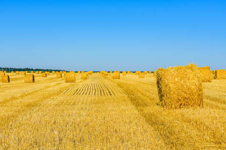 Rolled bales of straw at agricultural field. Agricultural concept