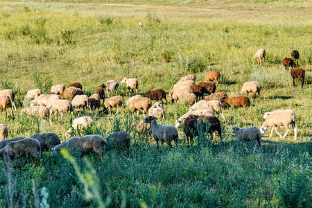 Flock of sheeps grazing on meadow at summer 写真素材